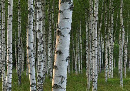 birch-trees-450
